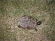 the map turtle (tortue géographique), Graptomys geographica, taken in Rapide de Cheval Blanc ecoterritory in the spring of 2005.